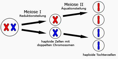 https://www.hesch.ch/images/sampledata/meiose.gif